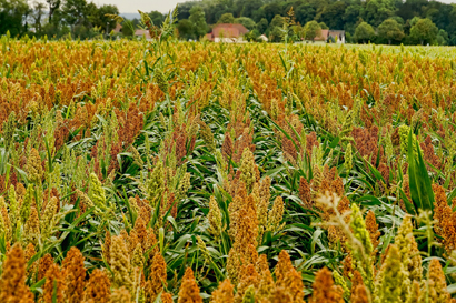 Sorghum field for biofuel production